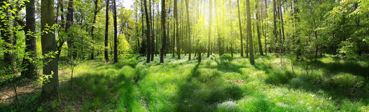Panoramic image forest beautiful view sunrise 49252778